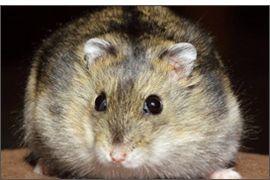 Hamster russe Agouti