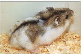 Hamster russe Agouti Spotted
