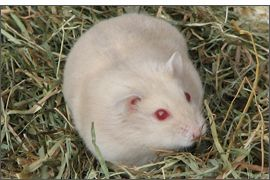 Hamster russe Beige yeux rubis