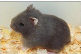 Hamster russe Bleu russe