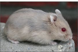 Hamster russe fauve bleu