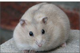 Hamster russe Mandarine bleu