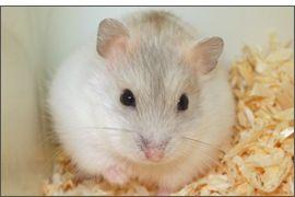 Hamster russe Mandarine bleu perle