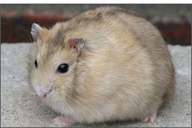 Hamster russe mandarine noir