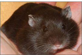 Hamster russe noir