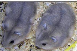 Hamster russe Saphir bleu
