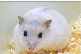Hamster russe Saphir Bleu perle
