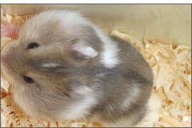 Hamster russe Saphir bleu Spotted