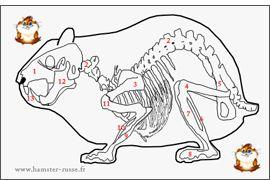 Anatomie du hamster: squelette et organes