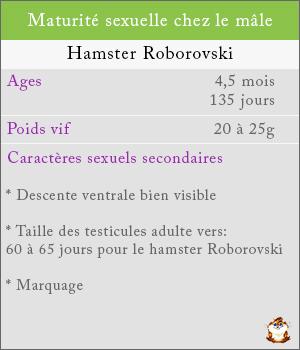 Maturité sexuelle chez les mâles hamsters roborovski