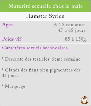 Maturité sexuelle chez les mâles hamsters syrien