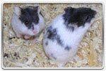Hamster campbell Mottled (noir et blanc)