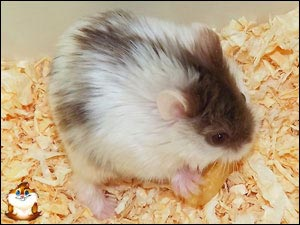 Hamster Campbell Chocolat Mottled Satin