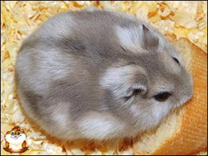Hamster Russe Saphir et blanc