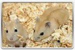 Hamster russe Mandarine