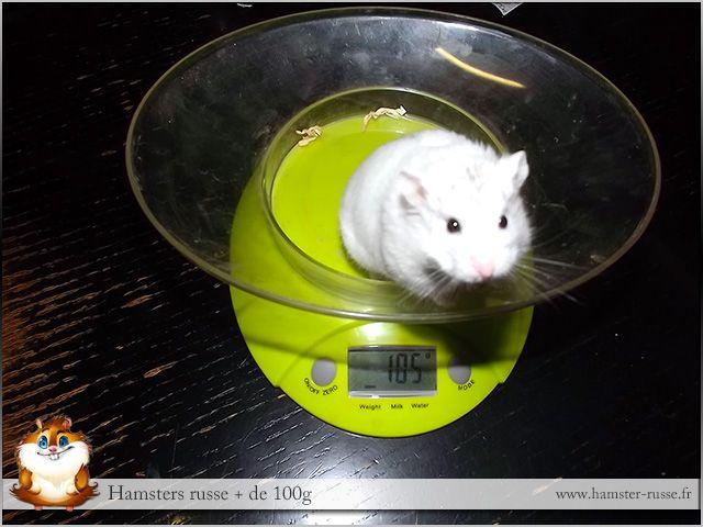 hamster russe de 105g